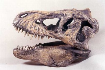 Tyrannosaurus Rex or T-Rex Skulls Replicas Models