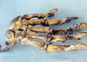 Cave Bear Hand Replica Models