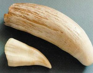 Sperm Whale Tooth Replica Models