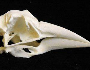 Black Skimmer Skulls Models Replicas
