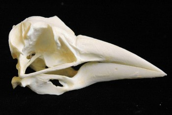 Black Skimmer Skulls Models Replicas