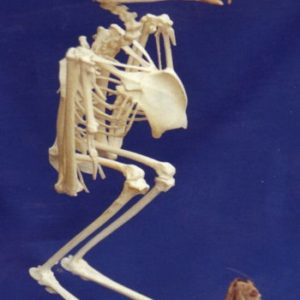 Barn Owl Complete Skeletons Replicas Models
