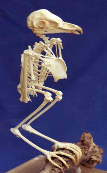 Barn Owl Complete Skeletons Replicas Models