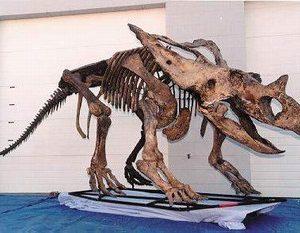 Chasmosaur Belli Skeleton
