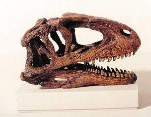 Sinaraptor Dinosaur Skull