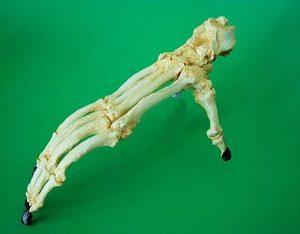 Orangutan Articulated Adult Foot Replica Model