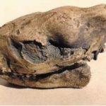 oreodont-skull-replica-S032-EYhYe-SEKPF-dvXgI