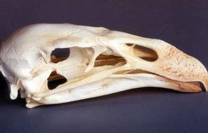 California Condor Skulls Replicas Models