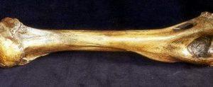 American Lion Humerus Fossil Bone Replicas Models