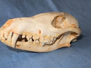 Black Backed Male Jackal Skulls Replicas Models