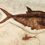 pNXXh-lKFXv-nlJpm-Diplomystus_and_Knightia_fish_cast_plaque