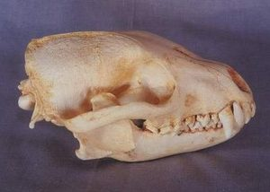 Bush Dog Female Skulls Replicas Models