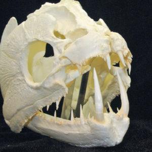 payara wolf fish skull