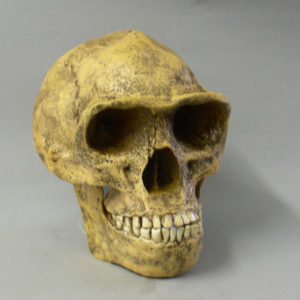 peking man skull replica