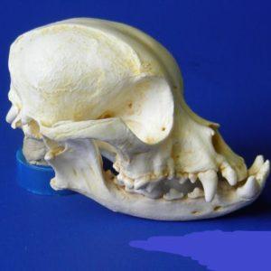 pekingese dog skull replica