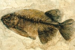 Phareodus testis Prehistoric Fish
