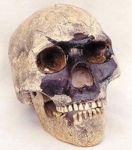 Skull 5 Homo Sapiens Skulls Replicas Models