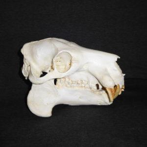 Hippopotamus Skull Replicas