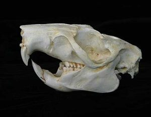 Slender Tailed Cloud Rat Skulls Replicas Models