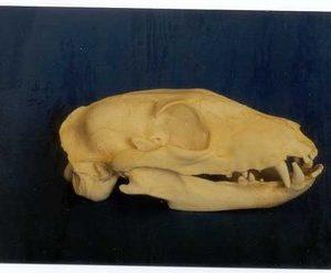 Aardwolf Skulls Replicas Models