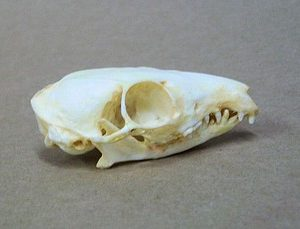 Common Treeshrew Adult Skulls Replicas Models