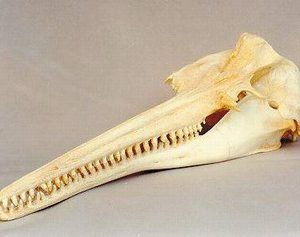 Amazon River Dolphins or Bouto Skulls Replicas Models