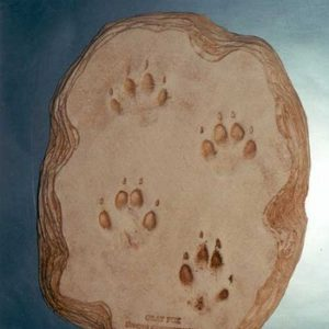 Gray Fox Footprints Cast Replica Models