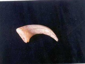 Deinonychus Claws Replicas Models