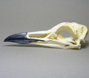 Common Murre Skulls Replicas Models