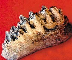 Asian Hippopotamus Tooth Row Replicas