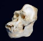 Primates Skulls Replicas Models