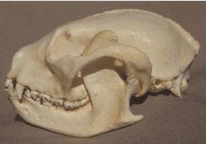 Red Lesser Panda Skull