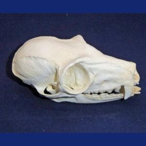 Lemur Skull Replicas