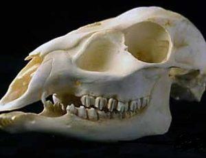 Reeves Muntjac Barking Deer Female Skull