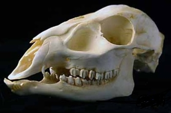 Reeves Muntjac Barking Deer Female Skull