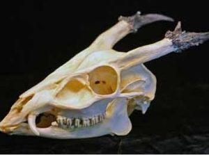 Reeves Muntjac Male Barking Deer Skull