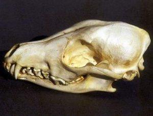 Side Striped Jackal Skull