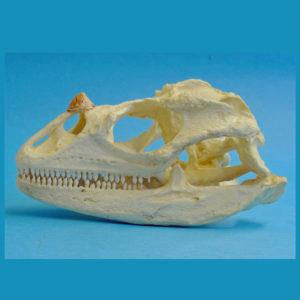 rhinocerous iguana skull replica