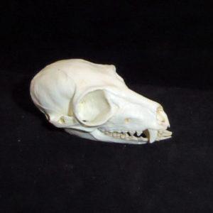ring-tailed lemur skull