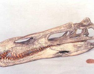 Suchimimus Skulls Replicas Models
