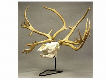 Caribou Reindeer Skull with Antlers and Stand
