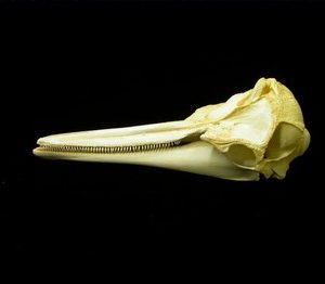 Long Beaked Common Dolphin Skulls Replicas Models