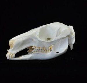 Parma Wallaby Skulls Replicas Models