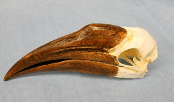Yellow Casqued Female Hornbill Skulls Replicas Models