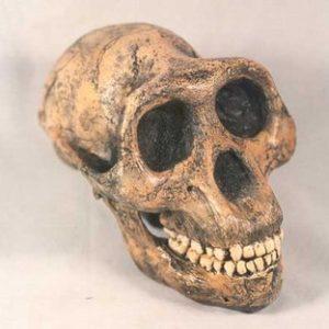 Lucy Skulls Replicas Models