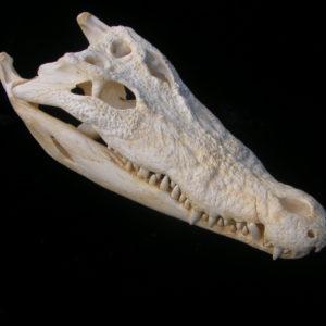 salt water crocodile skull