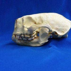 sea otter skull replica