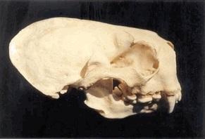 Sea OtterSkull