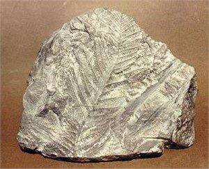 Seed Fern Foliage Fossil