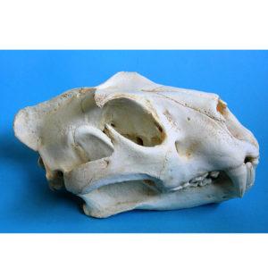 siberian tiger skull replica
